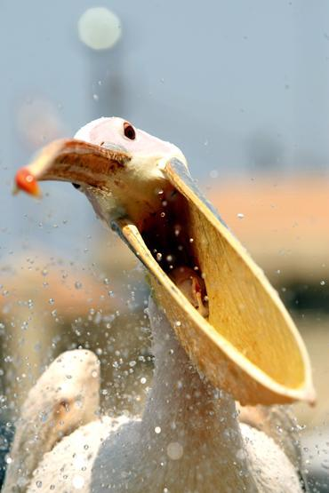 mothernaturenetwork:  A pelican named Mahrouma waits to be fed by fisherman Abed Ibrion July 10 in the Lebanese port city of Sidon. After Mahrouma was shot in the wing while flying over Sidon four years ago, Ibrion rescued her and now feeds her every other day.The best animal photos of July