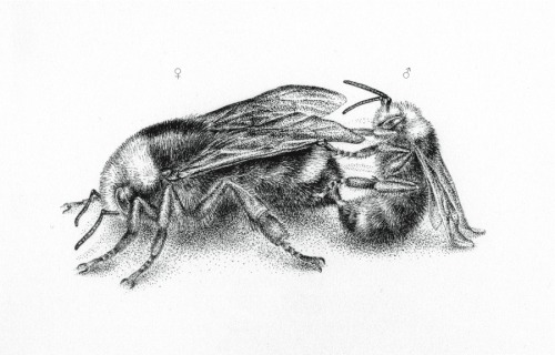 noelbadgespugh:  Mating . . for an upcoming book, an intro to bees of California, with Gretchen LeBuhn of the Great Sunflower Project.