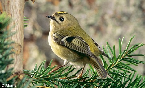 theanimalblog:  The goldcrest, which is the UK's smallest bird, was recorded twice in the top ten with average speeds of 19mph, and the other from Norway, at 16mph