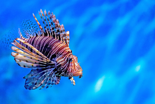 Lonely Lion Fish at Siam Ocean World, by crimsonbelt on Flickr. [ theblu is a free interactive ocean app. Follow our tumblr for things related to the ocean! ]