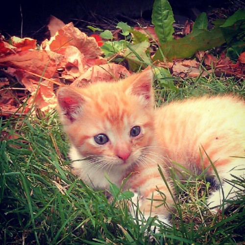 i-m-justa-teenagedirtbag:  #Cute #kitten #orange (Taken with Instagram)