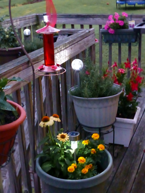 I'm now working on adding flowers to attract Hummingbirds and Butterflies to my container garden.  Today just before a storm moved in I had 2 Hummingbirds!  I went inside for my camera then waited for 30 minutes to see if they would return… I would've waited longer, but a rain storm moved in.  I've also added solar lights to some of the containers - when the sun goes down, the deck looks like a wonderland.  Photo taken with my amazing Panasonic Lumix DSC-ZS20