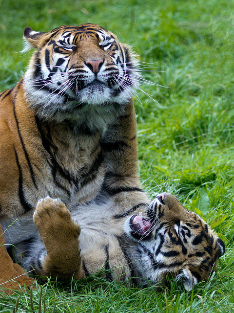 Sumatran tigers playing (by Barry Lloyd)