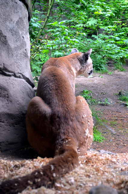 Mountain Lion (Oregon Zoo) on Flickr.