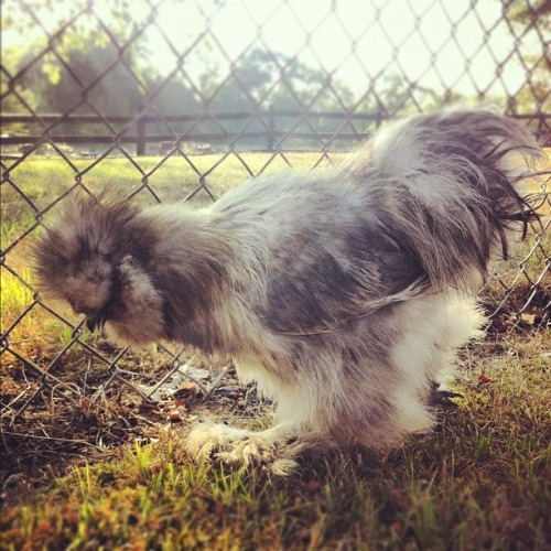 Adorable fluffy chicken!!! #cute #silkie #chicken (Taken with Instagram)