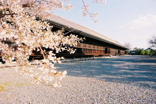 hislolita:  三十三間堂,京都,日本, Japan,Kyoto,Sakura by AJ1008 on Flickr.