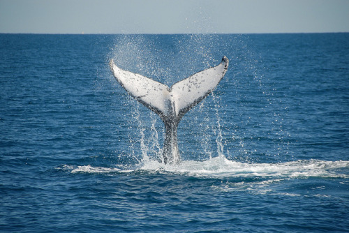 seacetaceans:  Aug 3 by Blue Dolphin Marine Tours on Flickr.