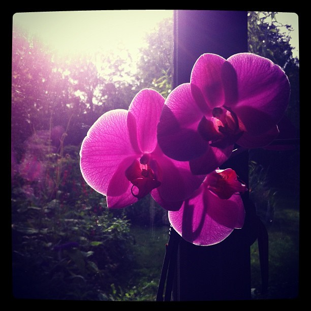 Morning orchid.  (Taken with Instagram)