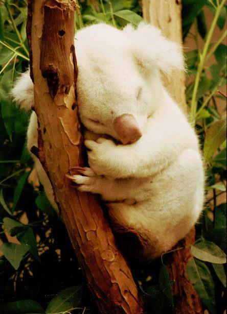 Random Albino Koala Photo of the Day. Sunday morning all!