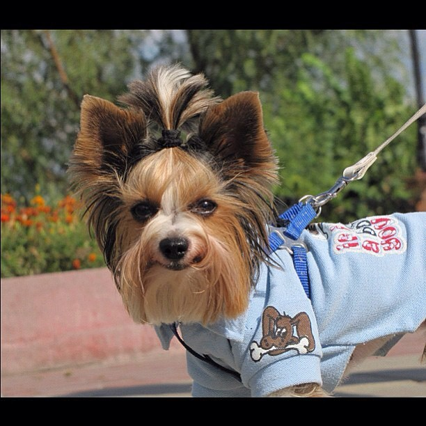 From @mr_verner #ig #yorkie #happy (Taken with Instagram)