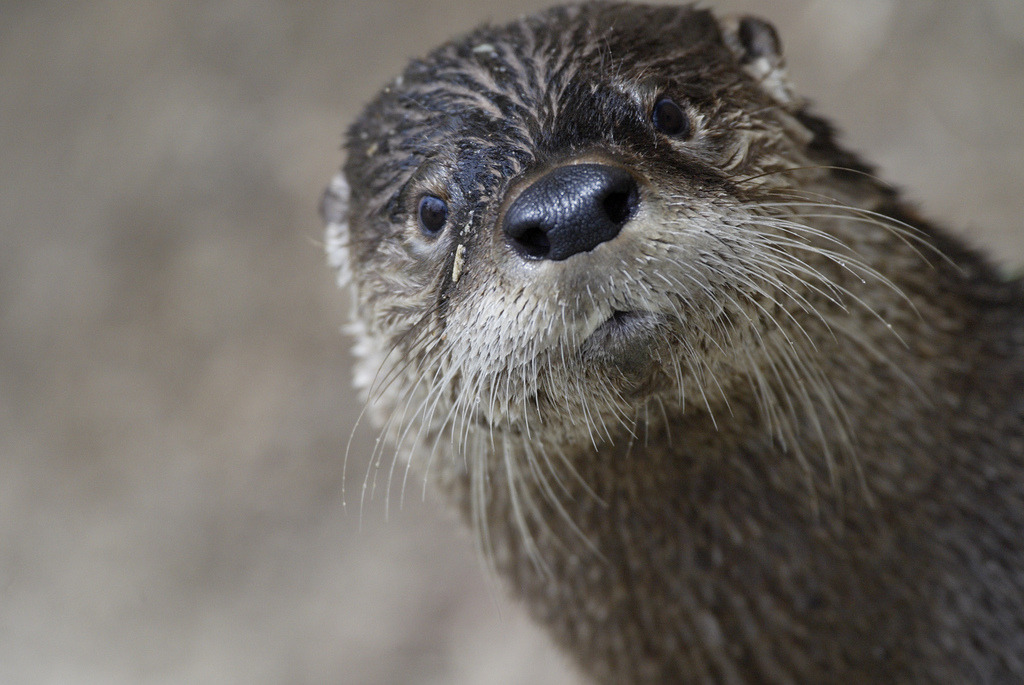 dailyotter:  Otter Practices His Photobombing Technique Via Smithsonian's National Zoo