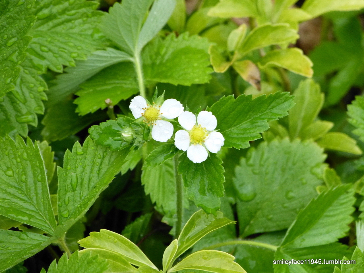 Fragaria × ananassa, the common strawberry. Clarion, Pennsylvania. 2012-05-04