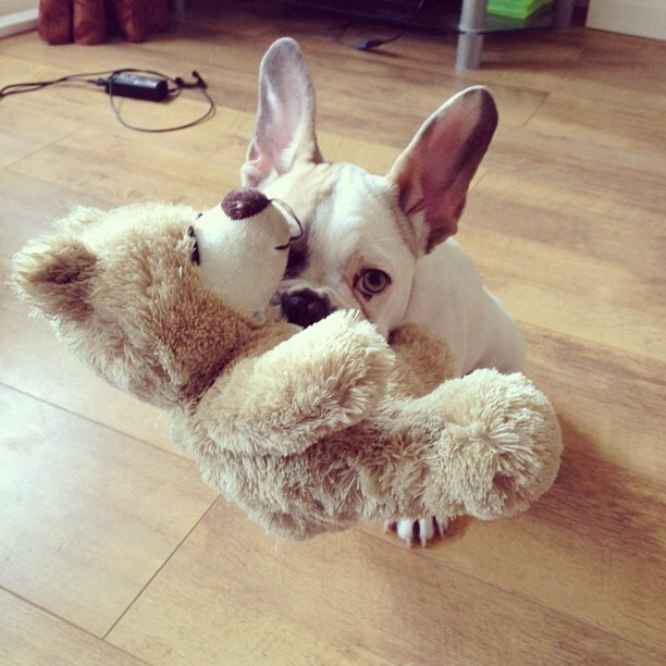 From @wedgiethefrenchie #ig #frenchie #toy (Taken with Instagram)