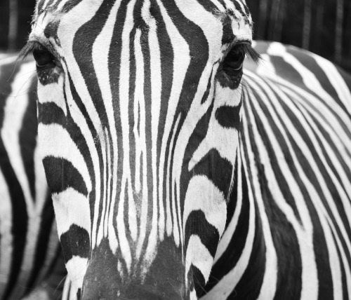 hannepostmaphotography:  Zebra  I'm very proud of this picture. Because she looks you right in the eye. But she also looks kind of sad. I think it is one of the most beautiful creature in the world.