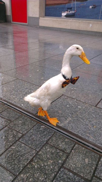 Duck wearing bow tie - Imgur give me a moment whilst i pick my jaw up