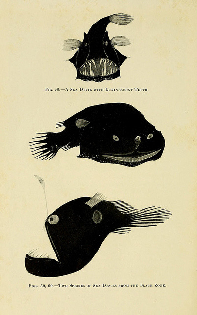 scientificillustration:  Fig 58 - A sea devil with luminescent teeth Fig 59, 60 Two species of sea devils from the black zone by BioDivLibrary on Flickr. The Arcturus adventure :.New York :Putnam,1926..biodiversitylibrary.org/page/4686817