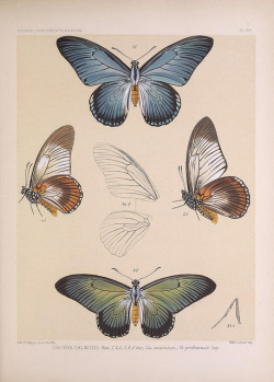scientificillustration:  Icones ornithopterorum by BioDivLibrary on Flickr. [London] :Published by the author … Upper Norwood, London, S.E.,1898-1906 [i.e. 1907].biodiversitylibrary.org/page/40093720