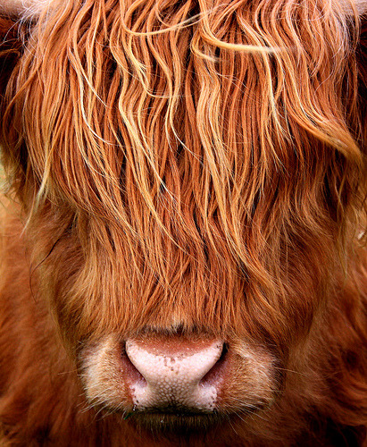 funkysafari:  Think I need A Haircut. A young Highland Cow. by alphazeta-off