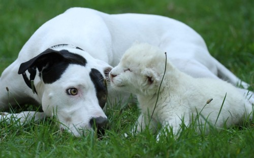 theanimalblog:  A pointer-cross named Lejon plays with a three-week-old white lion cub named Jojo at a zoo in Stukenbrock, Germany Picture: Animal Press / Barcroft Medi