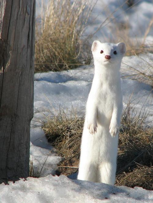 harvestheart:  White Long-tailed Weasel in Winter