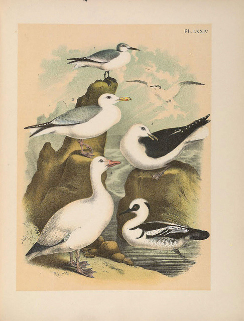 The birds of North America by BioDivLibrary on Flickr. New York :Published under the auspices of the Natural Science Association of America,1903. biodiversitylibrary.org/page/35159737