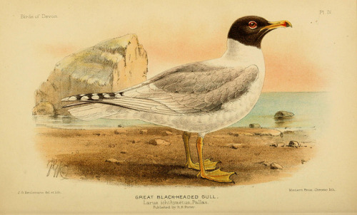 Great Black-headed Gull (Ichthyaetus ichthyaetus) by BioDivLibrary on Flickr. The birds of DevonLondon :R.H. Porter,1892.biodiversitylibrary.org/page/36007948