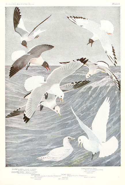 Gulls by BioDivLibrary on Flickr. Birds of America v.1.New York,The University Society,1923.biodiversitylibrary.org/page/7821377