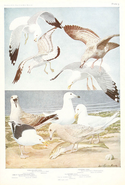 Gulls by BioDivLibrary on Flickr. Birds of America v.1.New York,The University Society,1923.biodiversitylibrary.org/page/7821361