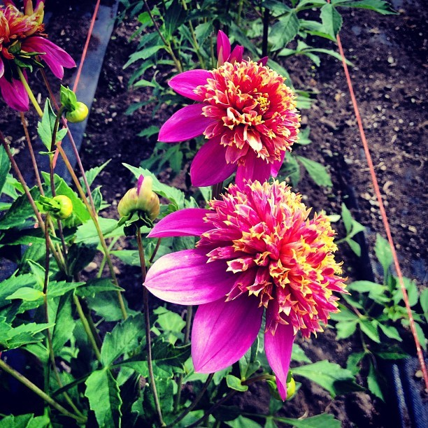 "#Dahlias as space aliens ""There are more of them, more of them!"" #flowerstagram #instaflower  (Taken with Instagram)"