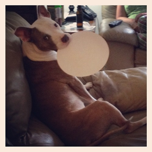 More #pizza please 🍴🐶 #puppy #lola #pitbull (Taken with Instagram at home)