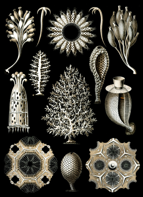 "rhamphotheca:  Calcareous Sponges - Plate 5 from Ernst Haeckel's Kunstformen der Natur ""Calcispongiae"", now called Calcarea, is a class of about 400 marine sponges that are found mostly in shallow tropical waters worldwide. Calcareous sponges vary from radially symmetrical vase-shaped body types to colonies made up of a meshwork of thin tubes, or irregular massive forms. The skeleton has either a mesh or honeycomb structure."
