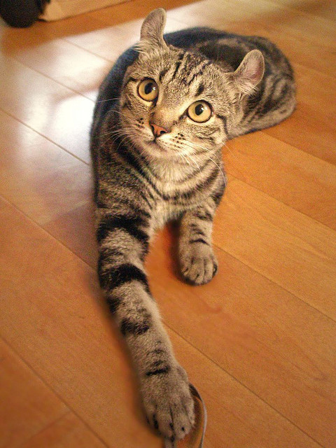 memphis:  American curl kitten by tanakawho on Flickr. those ears are hysterical