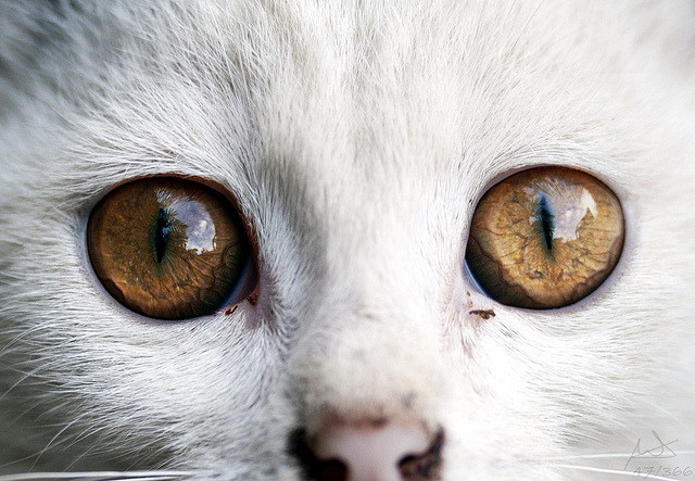 catp0rn:  photogenicfelines:  (MiGUi_ES)  THOSE EYES O_O