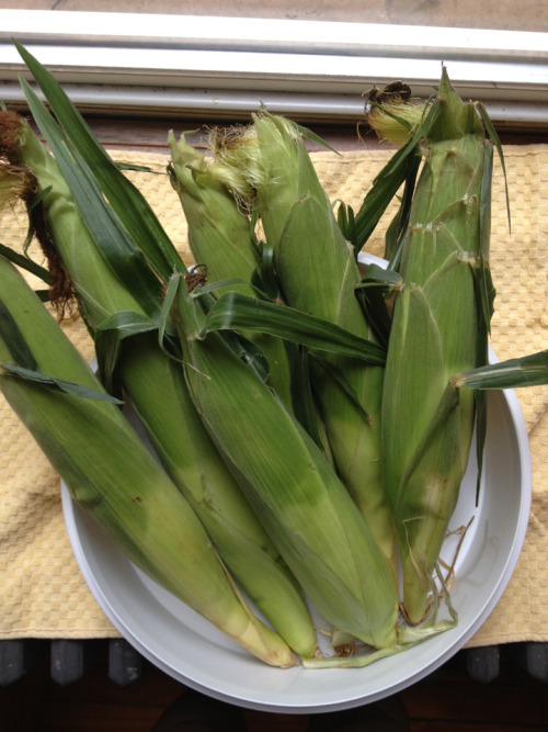 "How to buy fresh corn without looking a damn fool. This is corn I bought this morning at the market. As always, nearly everyone around me was anxiously half-shucking, then rejecting, ear after ear. This is the same thing as peeling a banana before you decide if you want to buy it. It is ignorant, wasteful, and disrespectful to the farmer. I realize not everyone grew up in corn country. With that in mind, I offer you a guide to buying corn without feeling the need to peek inside. Tip 1: Look for moist silk at the top of the ear and a nice green husk. Reject ears if either are dry. Tip 2: Feel the top. The corn should feel like it is filling up the husk, all the way to the tip. Tip 3: The ear should feel heavy for its size. Tip 4: Ask the attendants when the corn was picked. I the answer is ""This morning,"" buy. If they cannot answer, or the corn has been refrigerated, move on. If you follow these tips, you can reliably buy good corn without behaving like an entitled, clueless miscreant. Remember, peeking at the first inch of kernels tells you nothing about the corn. I often wonder if folks are worried about bugs, and that's why they shuck corn before they buy it. I can only repeat what my parents used to say: Bugs mean the corn's good, for one, and shucking hours before cooking is basically like shooting yourself in the foot. Corn looses its sweetness starting the moment it is picked, and shucking accelerates that process. So go forth with confidence, and do not shuck."
