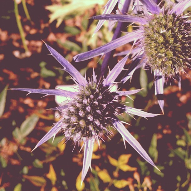 Purple flower/spiky plant in color (Taken with Instagram)