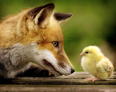 thelupusprincess:  Fox vs. Nugget
