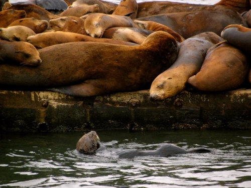 The sea otter visited the sea lions because their dock had yummy things growing on it. Moss Landing