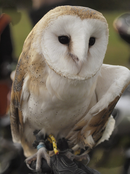 Alby The Barn Owl