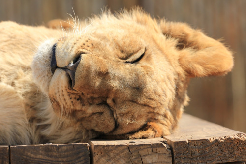 llbwwb:  The Lion sleeps tonite:) (by Ihsaan Adams | Photography ©)