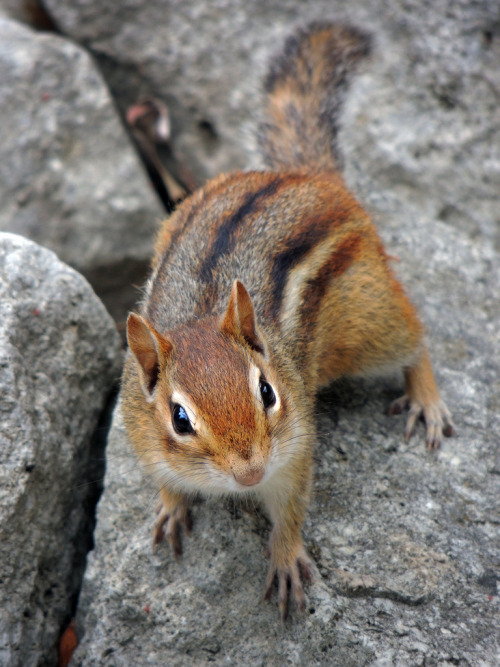 llbwwb:  Chipmunk (by pixel_karma)