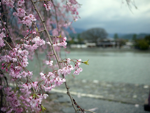 mistysky:  Cherry blossom in Arashiyama, Kyoto by ryo_324 on Flickr.