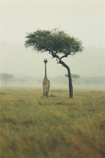 "troubled:  ""Giraffe"", by Ichigo Sugawara"