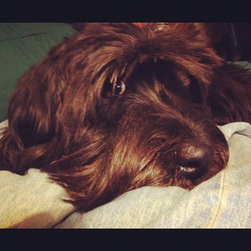 Dog or Muppet? Our Snarf puppy. (Taken with Instagram)