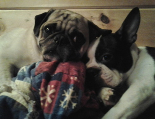 Check out our snuggly puggly matchpuppies of the week, Holly and Oliver!  If you'd like a snuggle date with these affectionate, playful pups, head on over to their profile: http://matchpuppy.com/users/1874/dogs/1734