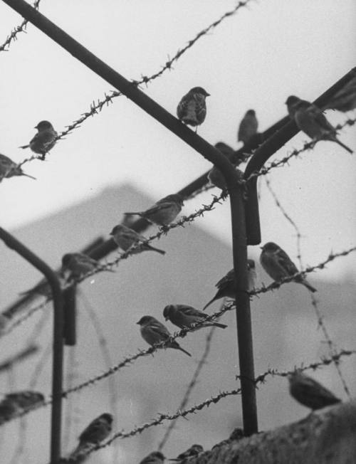 Sparrows on the Wall of Berlin which separates East and West Berlin. Photographed by Paul Schutzer, 1962.