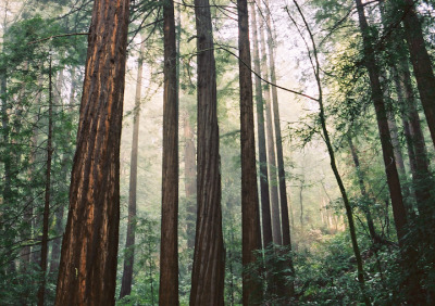 muir woods (by chickpea44)