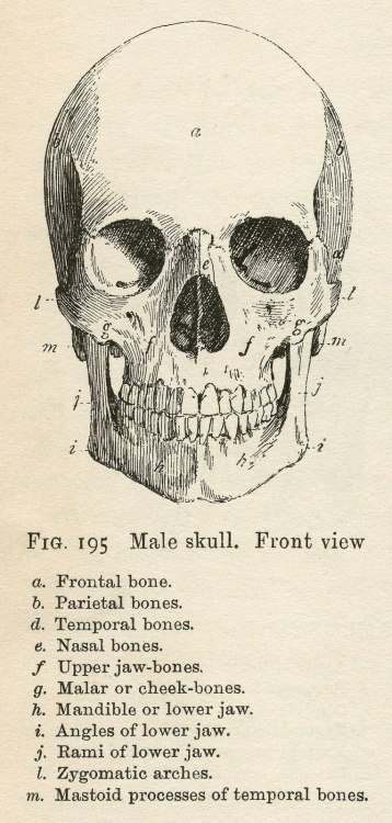 rockstar-with-a-scalpel:  Anatomy of the skull.