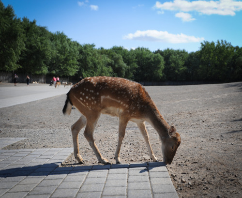 The poor condition of the Deer and their enclosure at Marineland is one of the most consistently complained about features of the park. In this picture you can see the barren landscape that the deer live in. The area has very little shade throughout the day and has no trees or grass available for shelter. Deer appear to rely on visitors to provide treats and are often reported begging for food, where naturally their timid demeanor would prevent them from getting close to humans. Visitors being allowed to feed and interact with deer also poses health risks for humans as many deer have been seen with visible wounds that could potentially harbor diseases or infections. Photo by Jo-Anne McArthur (www.weanimals.org)