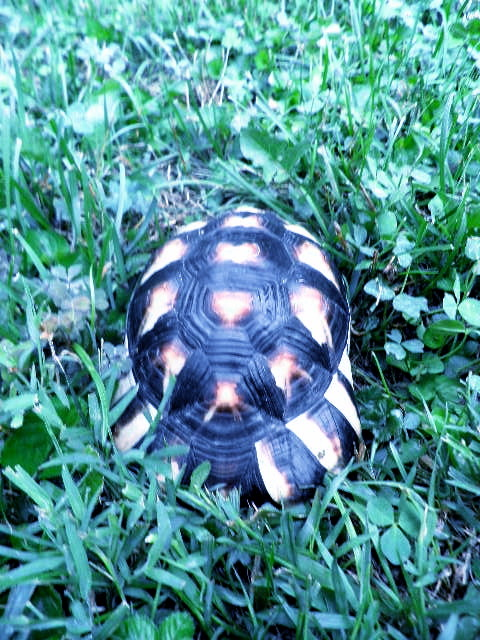 My tort's beauteous shell.