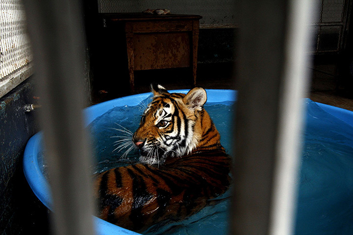 theanimalblog:  Guadalajara, Mexico: A Bengal tiger lies in a pool placed inside its cage in the municipal animal control centre after it was found in a park Photograph: Hector Guerrero/AFP/Getty Images  Aww oh my goodness.  That tiger is having NONE OF THIS and is NOT HERE FOR kiddie pools.  But look how sad it looks here!  And how cute and playful it is here!  I just want to give it catnip and a very large ball of yarn to calm it down and then we can go roam the streets together, maybe chase some teenagers.  Get ice cream.  Watch the Olympics.